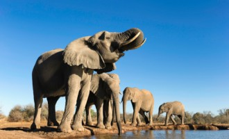 African elephant (Loxodonta africana) small group of elephants drinking at a waterhole in Mashatu Game Reserve. Botswana