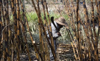 Mexico Sugar Output Increases 7.9 Percent Over Last Year
